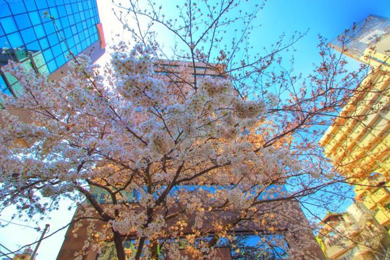 Ciresi in mijlocul orasului Tokyo, printre cladiri inalte si betoane