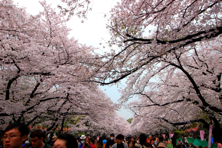 Ueno Park, plin de ciresi infloriti