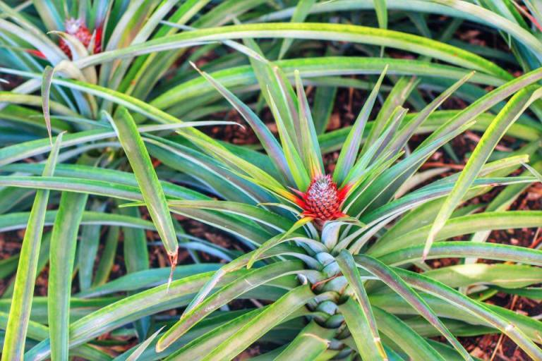 Pineapple Plantation Ponta Delgada Sao Miguel Azores 5