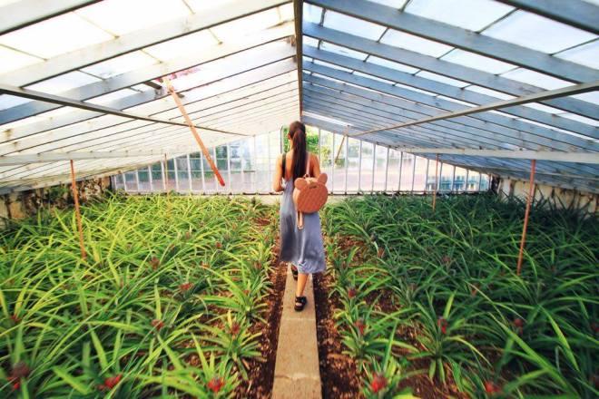 Pineapple Plantation Ponta Delgada Sao Miguel Azores 6