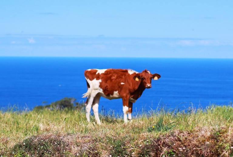 cows-azores-sao-miguel