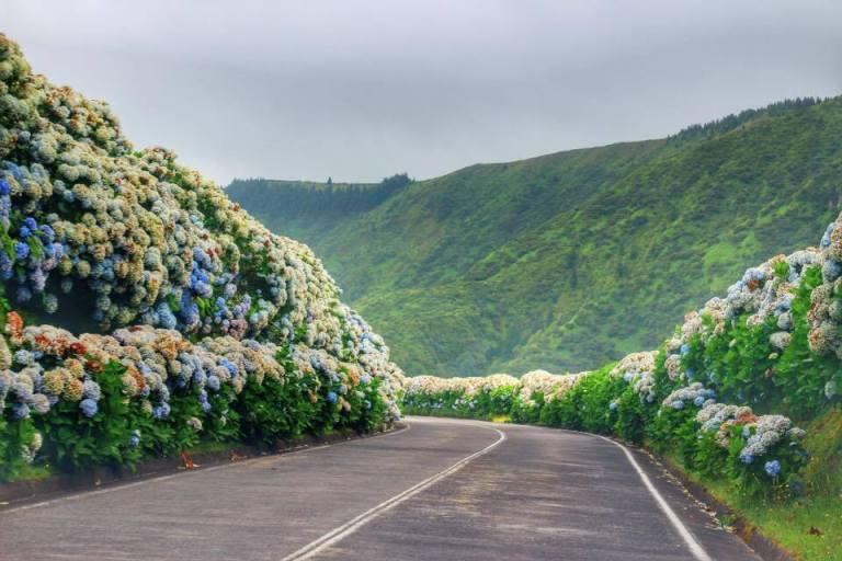 Hydrangeas Sao Miguel Azores 4