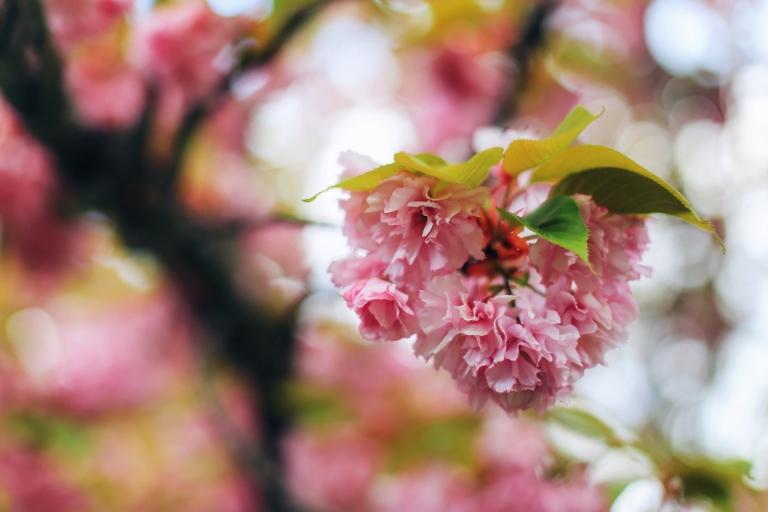 Sakura in Bucuresti_8