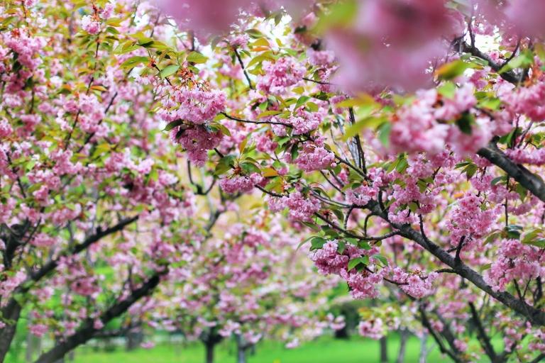 Sakura in Bucuresti_9